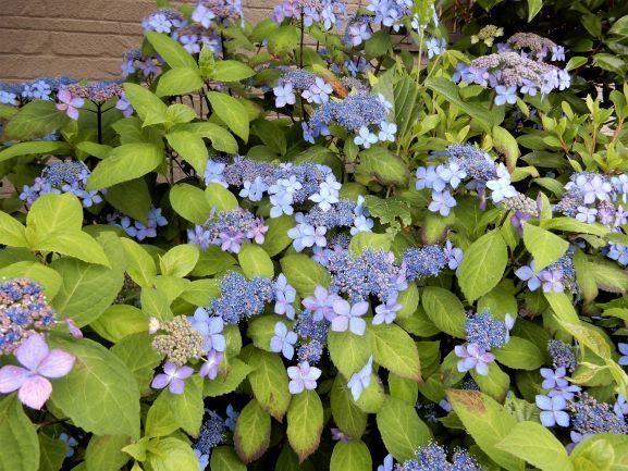 15紫陽花.JPG